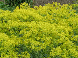 field of woad in flower