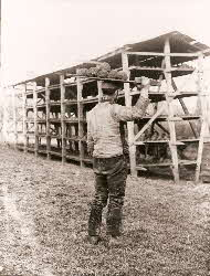 Carrying woad balls to drying rack (c. 1900)
