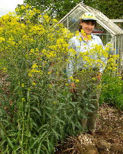 Woad plants in 2nd year