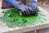 Grinding woad leaves with paver